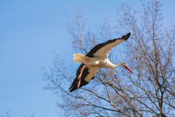 Ein fliegender Storch