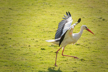 Ein Storch läuft auf einer Wiese