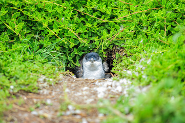 Wildlife of little blue penguin in hole on natural in Phillip Island, Australia Adorable penguins (adult and baby) at home
