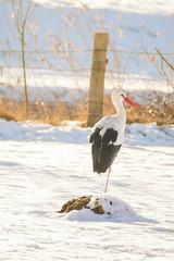 Ein Storch in einem Feld im Winter