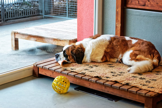 Saint Bernard dog lying in breeding kennel Martigny, Switzerland