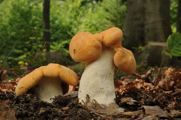 Hydnum repandum, commonly known as the sweet tooth, wood hedgehog or hedgehog mushroom