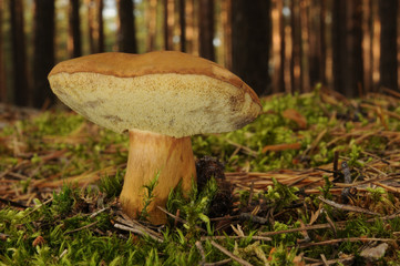 Boletus badius (commonly known as the bay bolete) growing in the forest