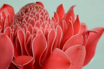 Torch Ginger flower, pink, rain forest, flower