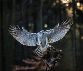 A male Goshawk (Accipiter gentilis) landing on the stump in forest.