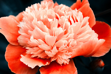 Orange peony on dark blue background. Beautiful flower, macro. The petals close-up.