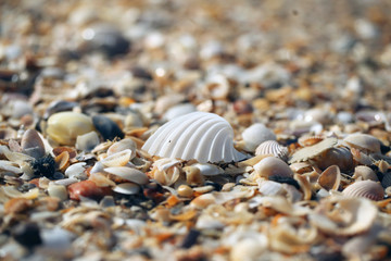 big white  shell on the sand