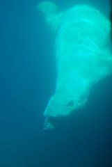 Polar Bear Diving in to the Deep Blue Water