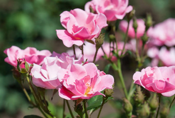 Pink roses, bushes of beautiful flowers in the park