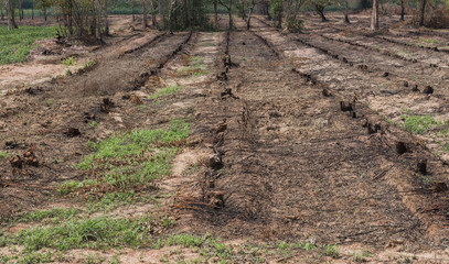 Many row old Tree Stumps caused by deforestation  and burn.