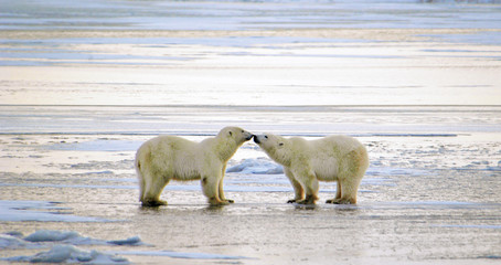 Tuinposter Ijsbeer Polar Bears Greeting, Churchill, Manitoba, Canada