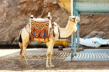 Camel near the sea