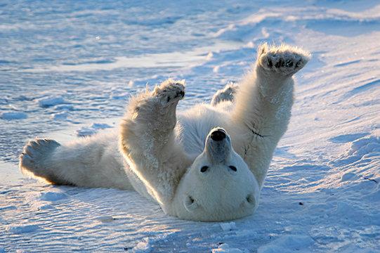 Polar bear awakens and stretches in Churchill, Manitoba, Canada