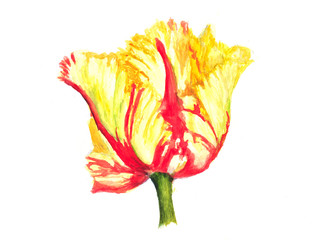 Beautiful single tulip on white, watercolor illustrator