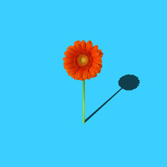 single flower with shadow minimal concept