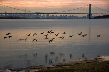 Geese flying with Bronx-Whitestone Bridge and Manhattan in the background – New York City