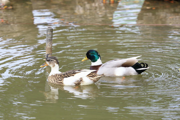 Two ducks swimming at waters, as animal background.
