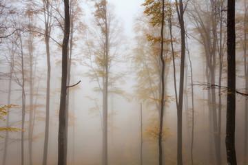 Misty autumnal beech forest
