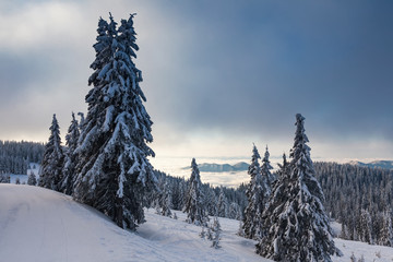 Picturesque winter scene with pines