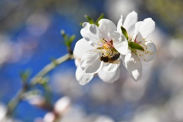 Spring background. Beautifully blossoming tree with a bee. Flower in nature.