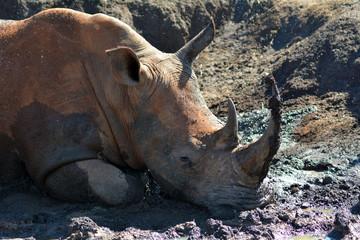 Rhino in the mud