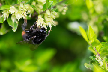 Bumblebee on spring hedgerow flowers collecting pollen nectar