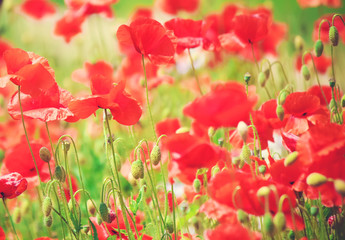 Flowers Poppies blooming in the field. selective focus.