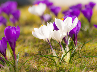 Purple and white corcus flowers in the grass