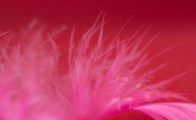 Pink feather on dark red background