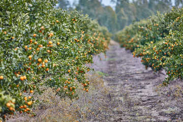 Orange and lemon plantations