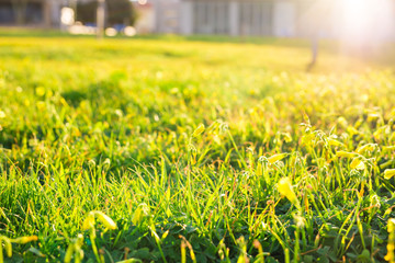 spring grass in sun light background