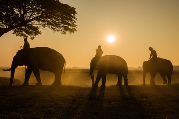 THAI ELEPHANT Silhouette three elephant and mahout in Surin Province Thailand.