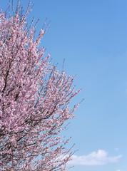 Landscape spring cherry blossom in blue sky