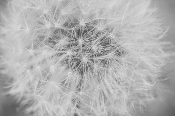 Detail of dandelion with matt effect. Close up shot. Black and white