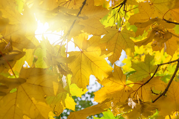 Autumn Yellow Maple Leaves with sunlight