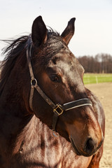ritratto di cavallo rosso