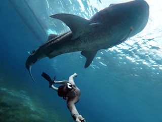 Underwater photographer swimming with whale sharks and makes selfie in the philippines