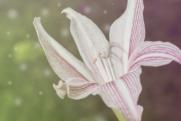White and pink lily toned photo with flares. Fresh lily flower in sunlight.