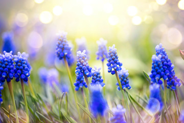 Fotoväggar - Spring muscari hyacinth flowers. Spring nature background with blue blossoming flowers closeup