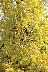 全体的に黄葉したイチョウの大木(京都府)