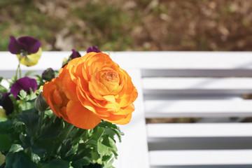 Beautiful ranunculus flower on blurred background