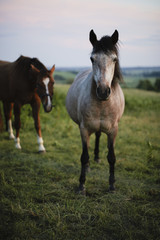 Sweden, Skane, Slimminge, Stenberget, horses grazing
