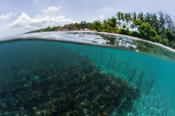 Underwater split shot of the sea weed garden on the island of Nusa Penida, Indonesia