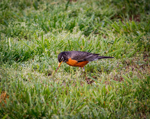 Robin Bird Eats A Worm