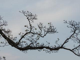 コプシの木