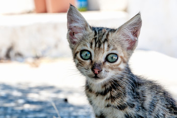 Greek Kitten