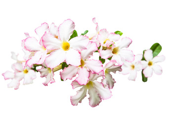 Desert Rose, Impala Lily, Mock Azalea Flowers isolated on white