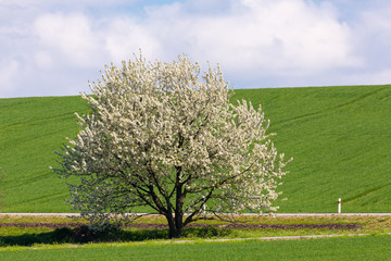 spring blooming tree in countryside