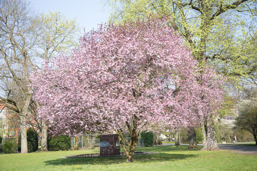sprind, tree, cherry, background