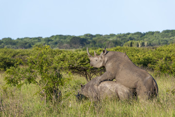 Black rhinoceros or hook-lipped rhinoceros (Diceros bicornis) (rhino) mating. KwaZulu Natal. South Africa